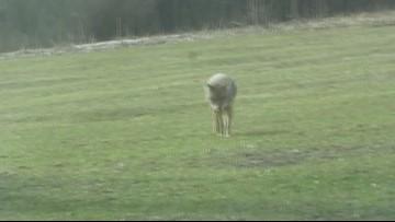 Coyote Sightings in Gwinnett County