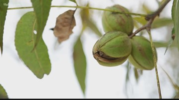 New Mexico to surpass Georgia in pecan production