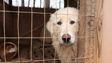 Caged in cruelty: 'Emaciated' dogs found living with decaying pigs
