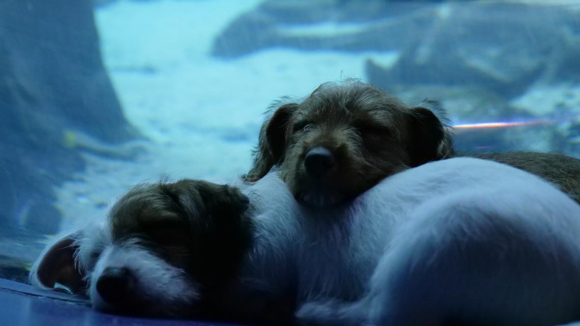 Adorable puppies in foster care explore closed Georgia Aquarium