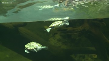 Baby diamondback terrapins at Zoo Atlanta