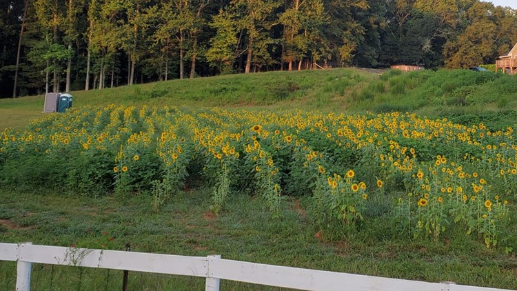 Milford Sunflower Farm