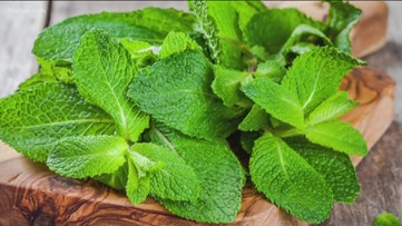 Why mint is a common remedy for nausea