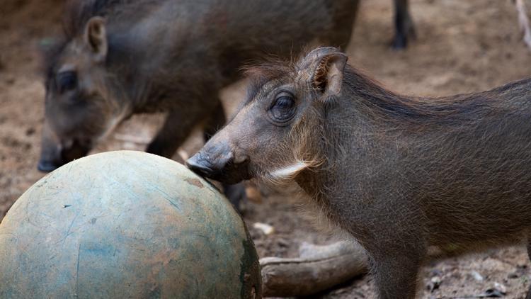 Meet Daphne, Penelope, and Eloise! Zoo Atlanta's newest warthog piglets