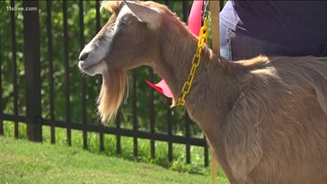 Goats help clear space for park