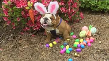 The Cadbury bunny is now a bulldog named Henry