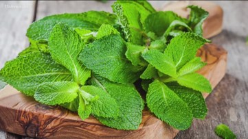 Why is mint a good cure for nausea?