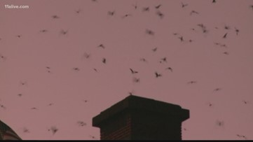 Have you seen them? Birds roosting at chimney of lofts near BeltLine