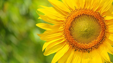 Sunflower farm re-opening next month!