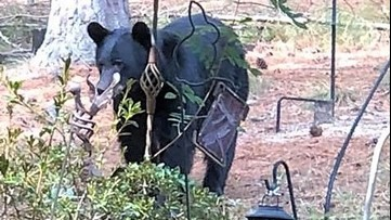 Yet another bear sighting reported in north Fulton