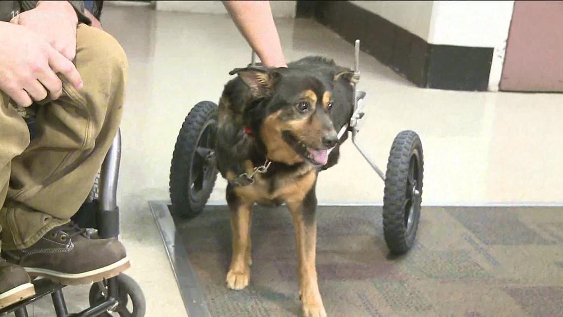 Bandit, the dog in a wheelchair that was a part of Gwinnett jail program, dies