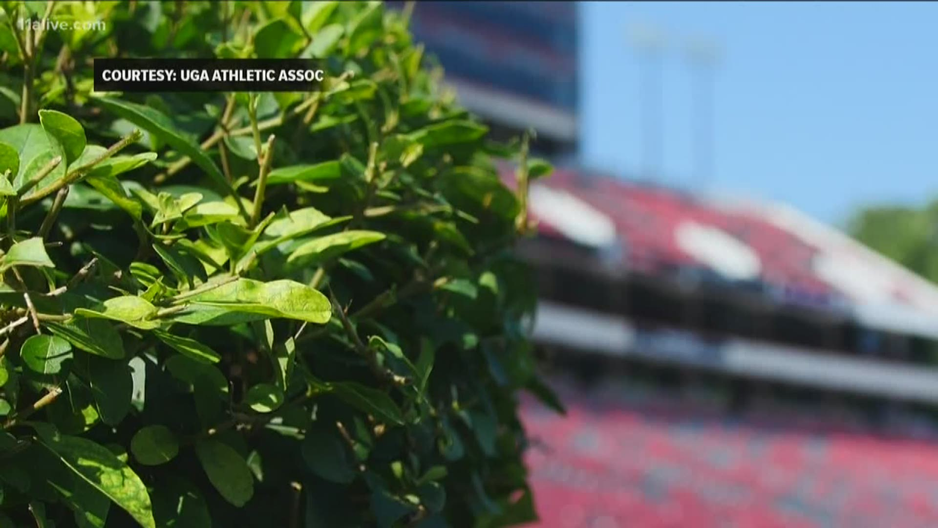 South Carolina Gamecocks Rip Up Uga Hedges At Sanford Stadium