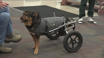 Wheelchair-bound dog returned for fourth time | Heads back to jail