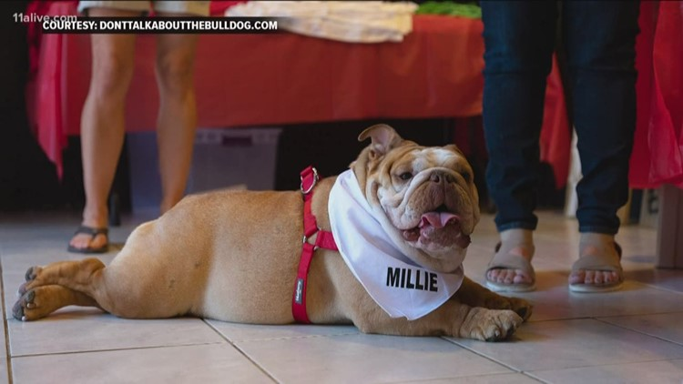 Sweet Update Bulldog Reunion After Puppy Mill Rescue 11alivecom