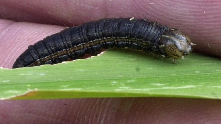 Why are armyworms so abundant this year?