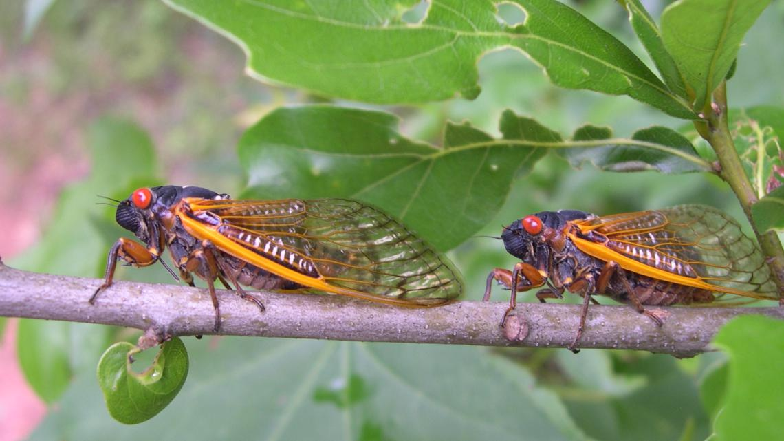 Brood X Cicadas emerge in North Georgia