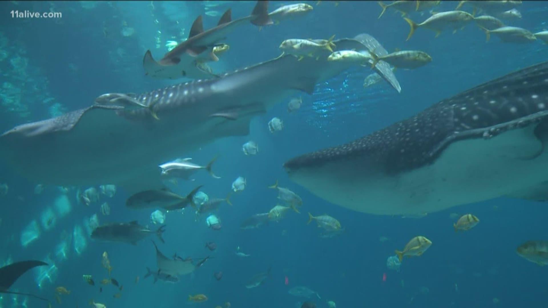 Georgia Aquarium whale shark Trixie dies   11alive.com