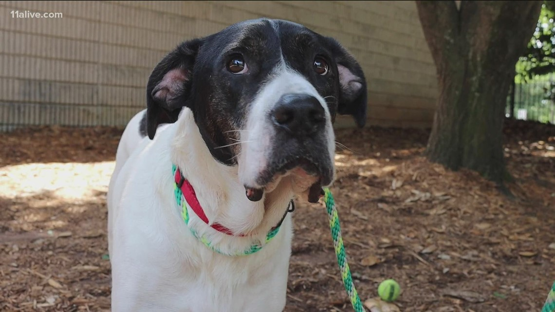 11Alive's pet of the week: Meet Bowie!