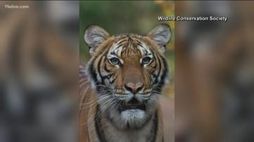 Tiger at Bronx Zoo tests positive for coronavirus, social media reacts