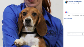 Beagles from Michigan lab now up for adoption